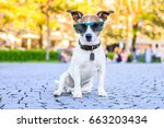 Stock photo jack russell dog waiting to go for a walk with owner in park sitting with cool and funny sunglasses 663203434
