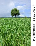 lonely tree in corn field on... | Shutterstock . vector #663264889