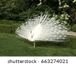 White Peacock Spread Tail...