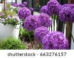 Beautiful Purple Flowers Alliu...