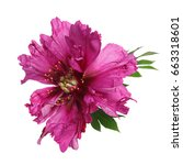 Stock photo unusual color magenta peony flower isolated on white background 663318601