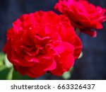 red rose blooming | Shutterstock . vector #663326437