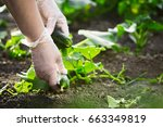 fresh cucumber in hand.close up ... | Shutterstock . vector #663349819