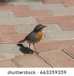 Cape Robin Chat Standing On...