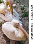 Two Beautiful Pelicans Rest In...