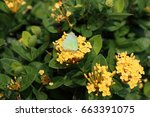 Small photo of Pieris canidia
