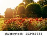 Stock photo sunset over garden roses 663469855