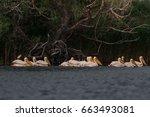 beautiful pelicans  | Shutterstock . vector #663493081