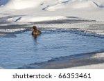 Duck Swimming In Semi Frozen...