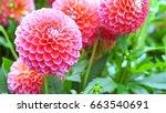 Beautiful Pink Dahlia Pink...
