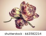 large flower buds. abstract... | Shutterstock . vector #663582214