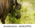 old african buffalo covered in... | Shutterstock . vector #663614941
