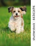 Stock photo bolonka zwetna zwetnaya runs happily above the meadow russian dog bichon frise 66361696