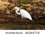 great egret hunting at the... | Shutterstock . vector #66364714