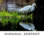 A Snowy Egret Wading Into The...