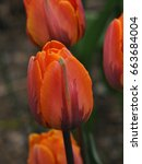 orange tulip called 'princess... | Shutterstock . vector #663684004