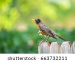 american robin  turdus...   Shutterstock . vector #663732211