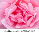 pink rose close up image | Shutterstock . vector #663760147