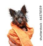 little wet yorkshire terrier... | Shutterstock . vector #66378559