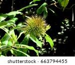 Small photo of Allamanda Seed Pod, Allamanda schottii