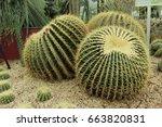 Three Of Barrel Cactus Are Ver...