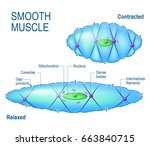 smooth muscle cell. anatomy of... | Shutterstock . vector #663840715