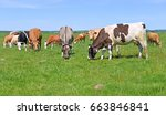 cows on a summer pasture | Shutterstock . vector #663846841