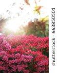 Beautiful Blooming Azalea Bush...