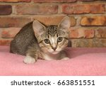 gray brown and white tabby... | Shutterstock . vector #663851551