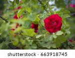 Growing Bush Roses.