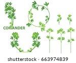 coriander herb  chinese parsley ... | Shutterstock .eps vector #663974839