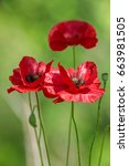 poppies | Shutterstock . vector #663981505