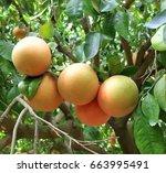 Grapefruit  Citrus  Fruit  Tree ...