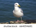 Close Up Of A Seagull On The...