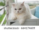 white persian cat with two...   Shutterstock . vector #664174609