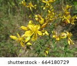 Small photo of Flower / The flower is of a shiny yellow but it has this kind of spit in here there is the netter, pollen that I say want