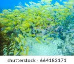 Small photo of A bunch of grunts in a caribbean coral reef