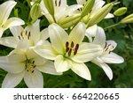 shrub of white lily | Shutterstock . vector #664220665