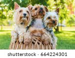 Yorkshire Terriers Sitting In...