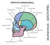 skull anatomy vector   Shutterstock .eps vector #664243981