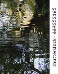Small photo of Alligator (Alligator mississippiensis) Swimming, Big Cypress National Preserve, Florida, USA