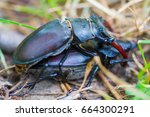 Mating Stag Beetle