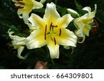 lily    Shutterstock . vector #664309801