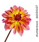 single  dahlia  pink with red... | Shutterstock . vector #66434107