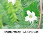 fresh natural flower after rain ... | Shutterstock . vector #664343935
