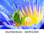 Green grasshopper on lotus - stock photo