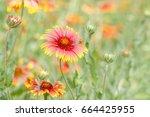 colorful  zinnia flower in park   Shutterstock . vector #664425955