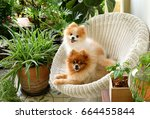Stock photo  pomeranian dog smile animal playing outside smiles 664455844