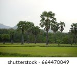 many sugar palm trees in the...   Shutterstock . vector #664470049