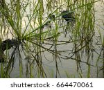 rice fields in rainy season   Shutterstock . vector #664470061